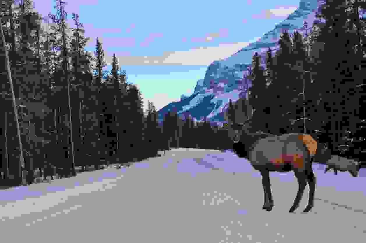Ein männlicher Elch in den Kanadischen Rockies auf einer verschneiten Straße.