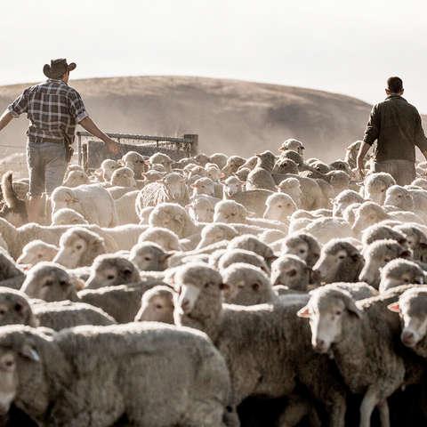 Eine Herde Merino Rams auf einer Weide.