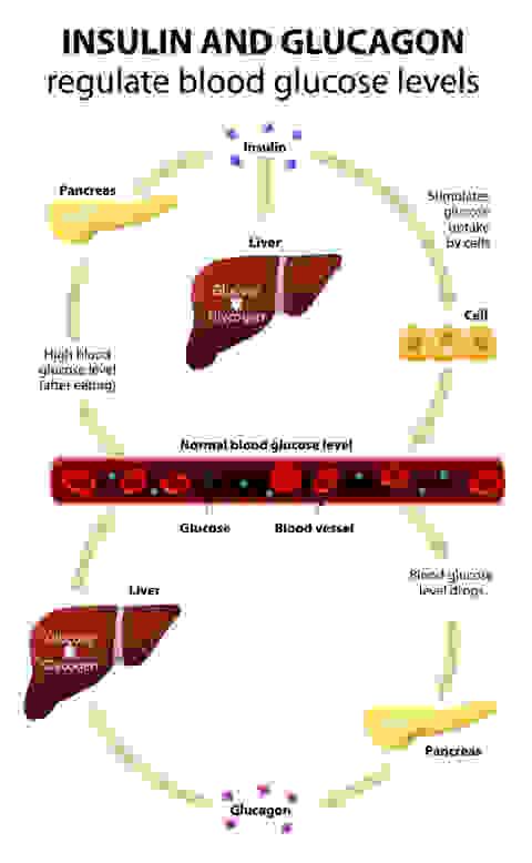 Illustration des Glycogen Kreislaufs